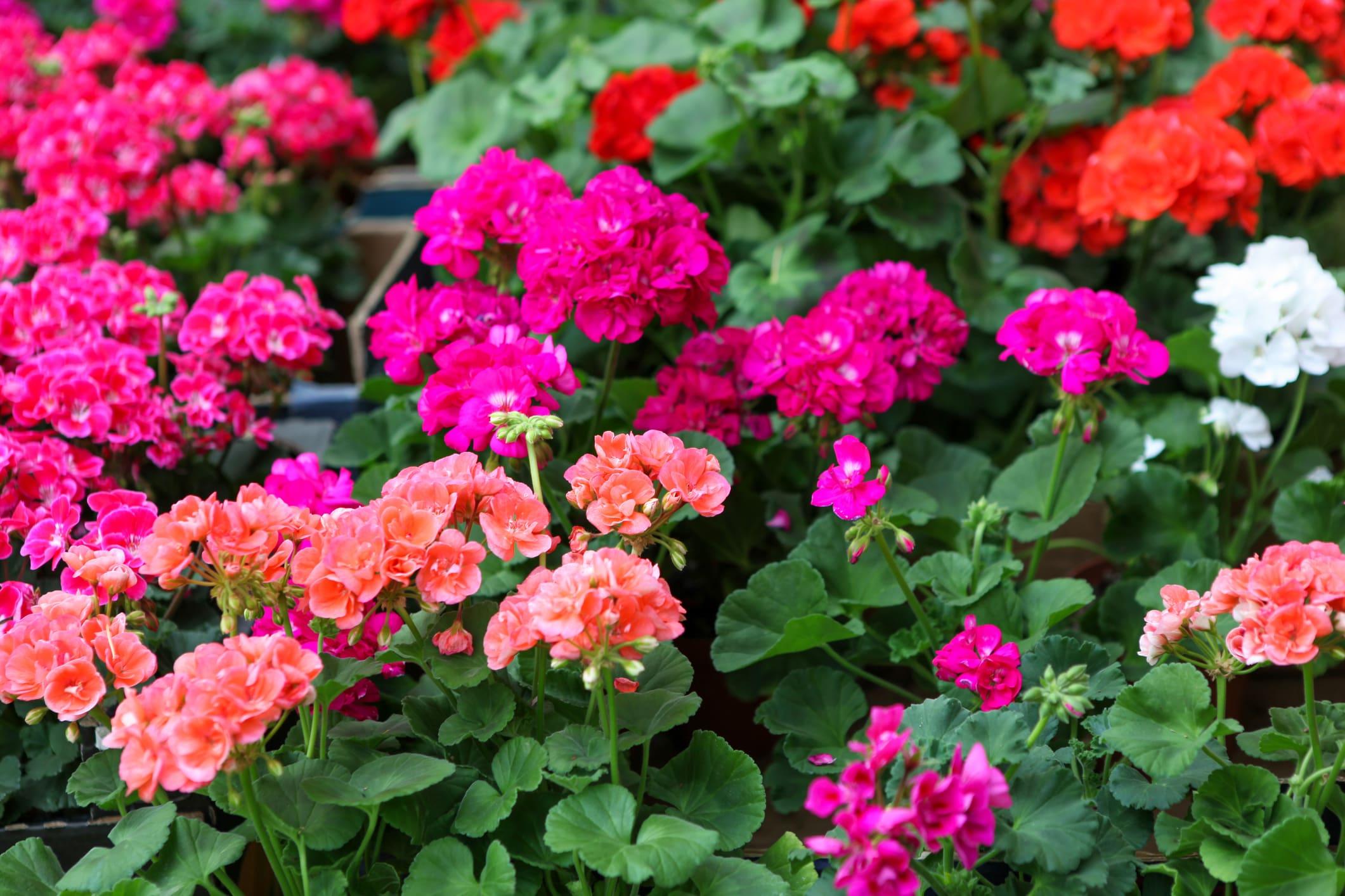 Geraniums onderhoudsvrije tuin